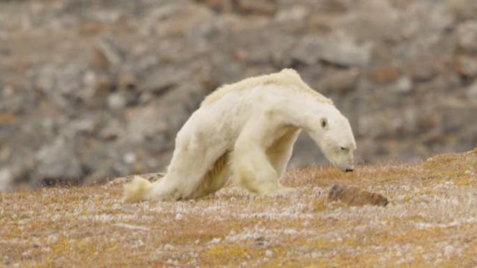 Gấu Bắc Cực đói trơ xương - Ảnh 1.