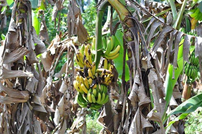 Hiện sản lượng chuối tại Đồng Nai còn khoảng 17.000 tấn, trong đó có 7.000 tấn đã trong khả năng có thể tiêu thụ, còn gần 10.000 tấn phải nhờ đến sự hỗ trợ tìm nguồn tiêu thụ.