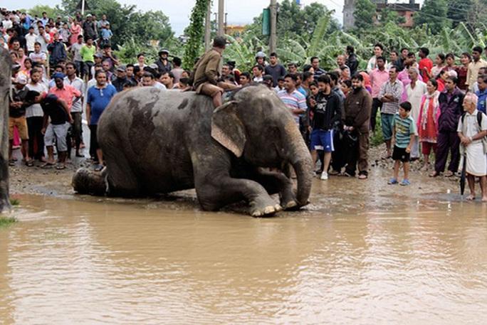 Nepal: Lũ lụt nghiêm trọng, người dân sơ tán bằng voi - Ảnh 2.