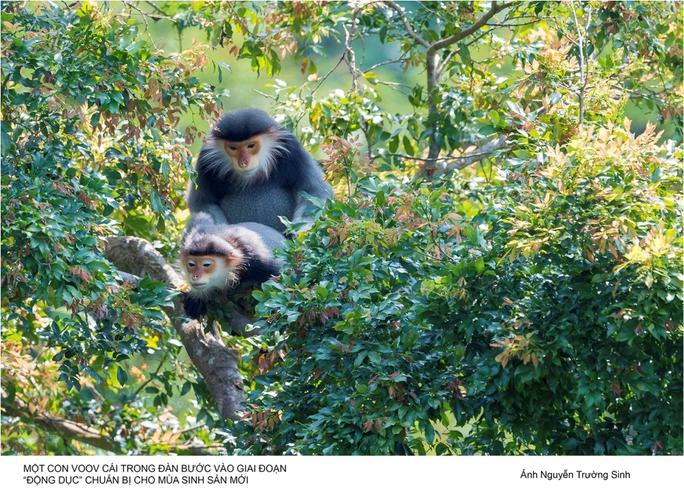 Vọoc Chà Vá Chân Nâu, loài linh trưởng quý hiếm đang sinh sống ở Sơn Trà cần được bảo vệ