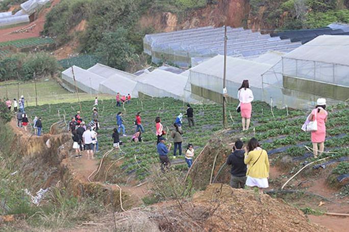 Các vườn dâu là địa điểm du khách đến Đà Lạt rất yêu thích nhưng cũng dễ đi nhầm chỗ nếu cả tin theo lời của cò.