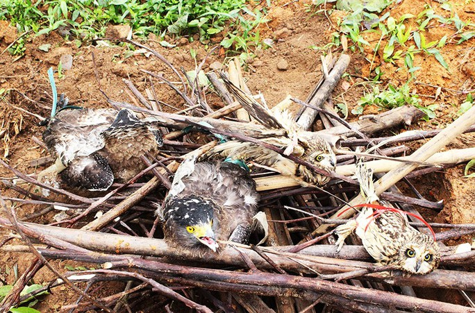 Xôn xao việc tiêu hủy 4 con chim cú và diều hoa - Ảnh 1.