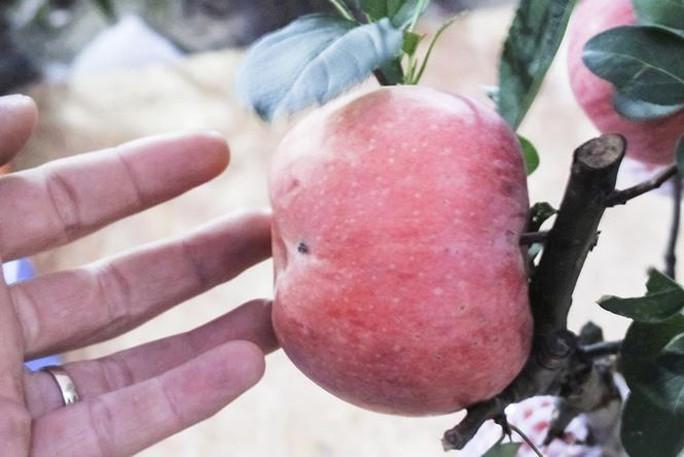 7 triệu một cây táo đỏ chơi Tết - Ảnh 4.