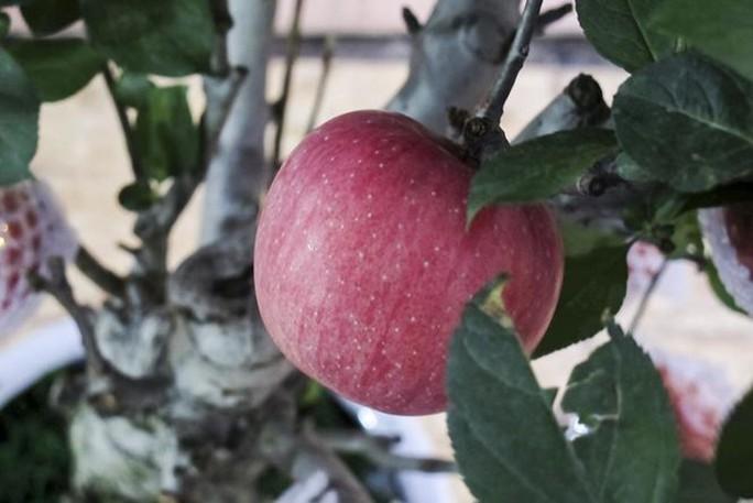 7 triệu một cây táo đỏ chơi Tết - Ảnh 5.