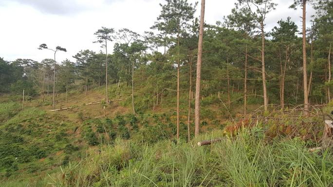 Lâm Đồng: Đình chỉ công tác 1 phó chủ tịch xã để mất rừng gần trụ sở - Ảnh 4.