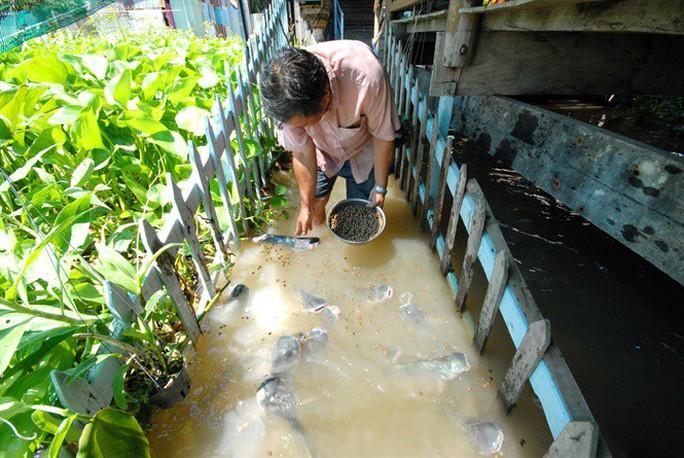 Kỳ lạ lão nông miền Tây dẫn dụ đàn cá tra khủng về cặp mé sông - Ảnh 3.