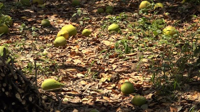 Bưởi Năm Roi chết rụng trái đầy vườn, dân khóc ròng bán 1.500 đồng/kg để làm nem - Ảnh 2.