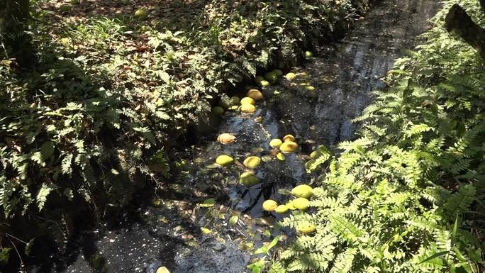 Bưởi Năm Roi chết rụng trái đầy vườn, dân khóc ròng bán 1.500 đồng/kg để làm nem - Ảnh 3.
