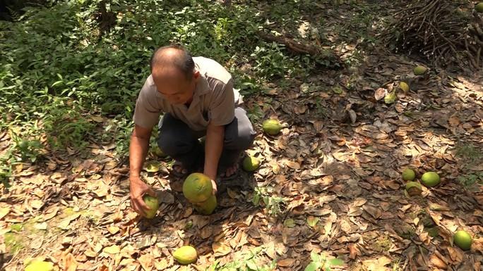 Bưởi Năm Roi chết rụng trái đầy vườn, dân khóc ròng bán 1.500 đồng/kg để làm nem - Ảnh 4.
