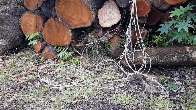 Đường đi của các loại cây xanh bị đốn hạ ở TP HCM - Ảnh 3.