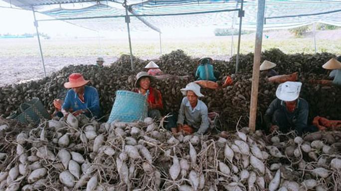 Kiến nghị xuất khẩu khoai lang chính ngạch sang Trung Quốc - Ảnh 1.