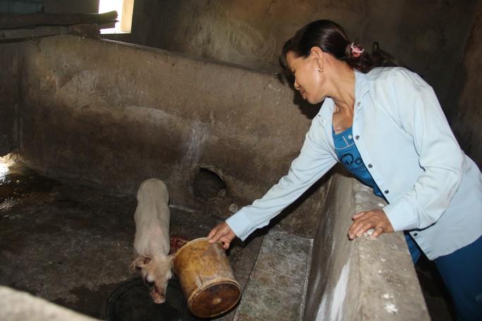 Lợn giống cấp cho dân để giảm nghèo bất ngờ chết hàng loạt - Ảnh 2.