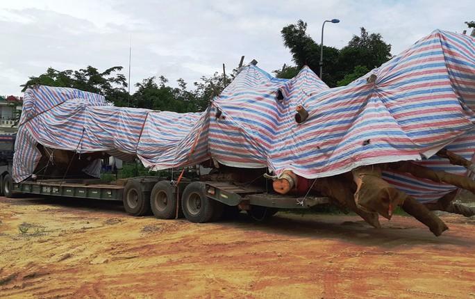 Cây quái thú bị bắt giữ ở Quảng Bình từng được bán đấu giá ở Quảng Ngãi - Ảnh 2.