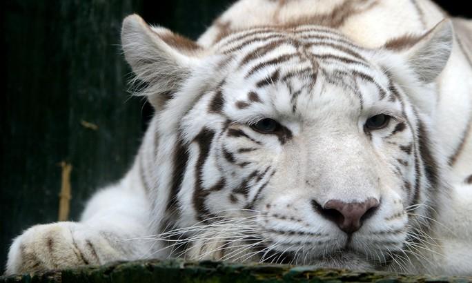 Hổ trắng quý hiếm vồ chết nhân viên sở thú Nhật Bản - Ảnh 1.