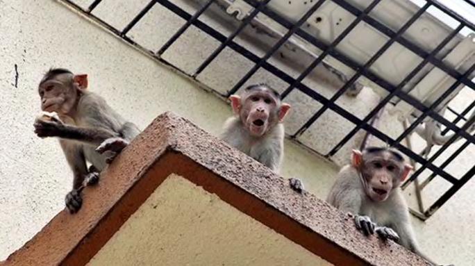 Bị khỉ cướp khỏi lòng mẹ, bé 12 ngày tuổi chết thương tâm - Ảnh 1.