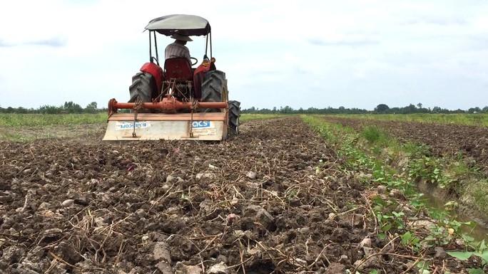 """Trung Quốc ngừng mua khoai lang, nông dân vẫn """"liều mình"""" xuống vụ mới - Ảnh 4."""