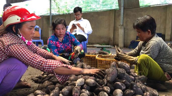 """Trung Quốc ngừng mua khoai lang, nông dân vẫn """"liều mình"""" xuống vụ mới - Ảnh 2."""