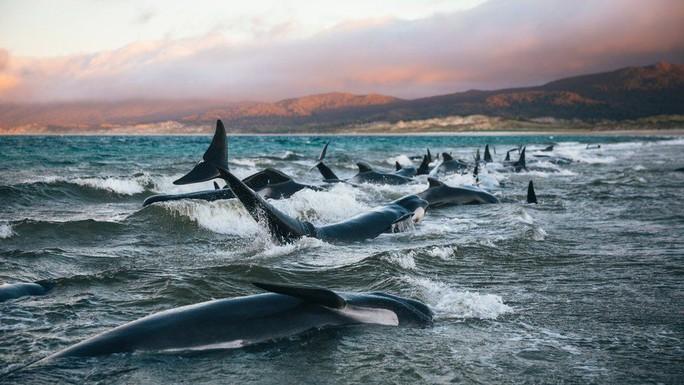 Nước mắt 145 con cá voi chết trên bờ biển New Zealand - Ảnh 4.