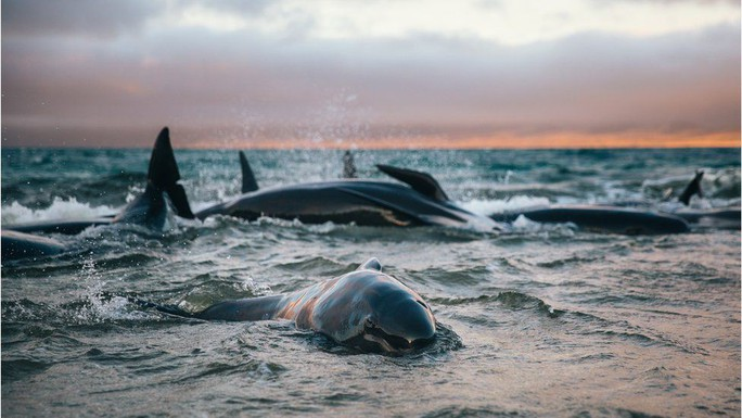 Nước mắt 145 con cá voi chết trên bờ biển New Zealand - Ảnh 1.