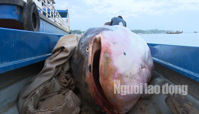 """1 Việt kiều mua được cá tra dầu """"khủng"""" nặng 240 kg - Ảnh 2."""