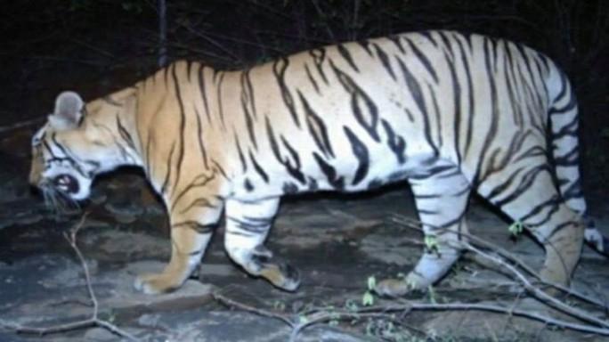 Ấn Độ: Tranh cãi vụ bắn chết hổ ăn thịt 12 người - Ảnh 1.