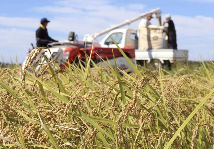 Đặt cược vào gạo organic - Ảnh 1.