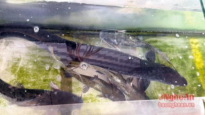 Bí ẩn miền Tây xứ Nghệ: Loài cá nặng hàng yến, dài cả mét - Ảnh 3.