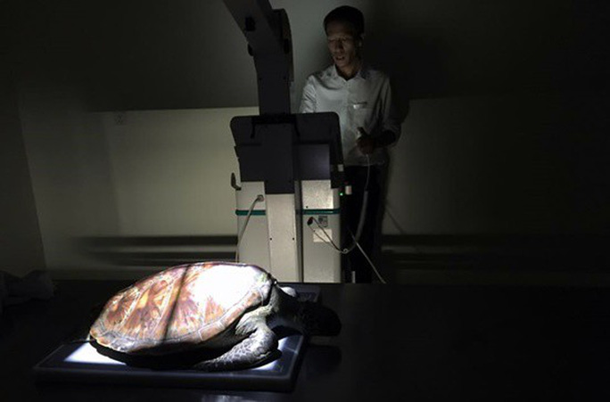 Mổ nội soi để cứu sống một cá thể rùa biển Cù lao Chàm - Ảnh 3.