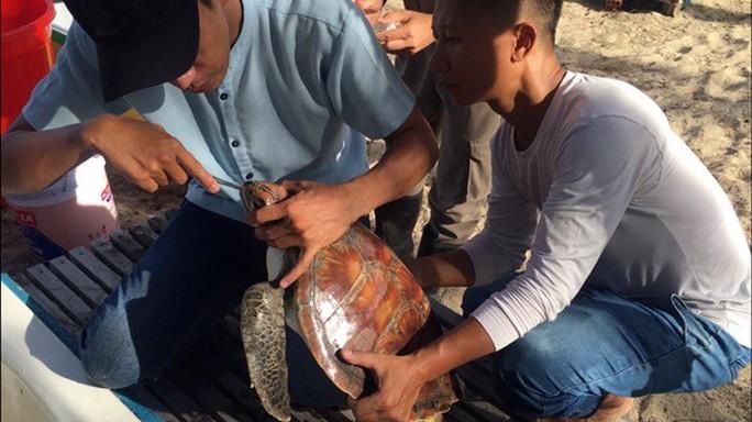 Mổ nội soi để cứu sống một cá thể rùa biển Cù lao Chàm - Ảnh 1.