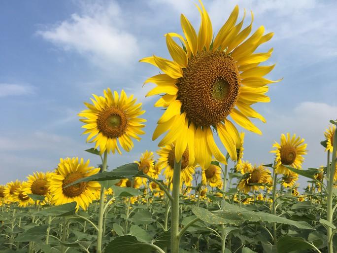 [VIDEO] - Nườm nượp đi xem cánh đồng hoa hướng dương ven sông Sài Gòn - Ảnh 17.