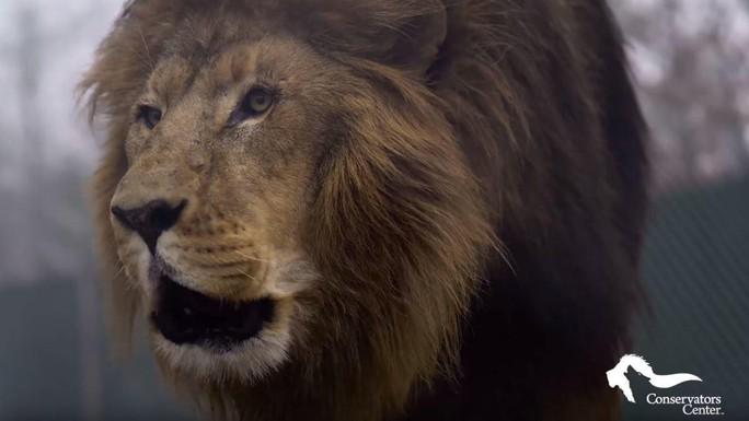 Mỹ: Sư tử sổng chuồng, giết chết thực tập sinh - Ảnh 1.