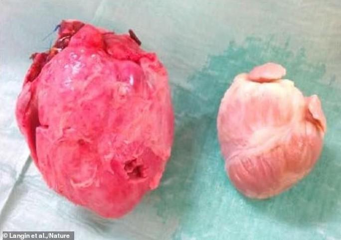 Họ hàng gần của con người sống sót sau khi… ghép tim lợn - Ảnh 2.