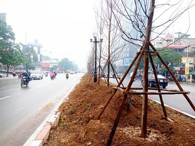 Hàng trăm cây phong lá đỏ được trồng giữa Thủ đô - Ảnh 3.
