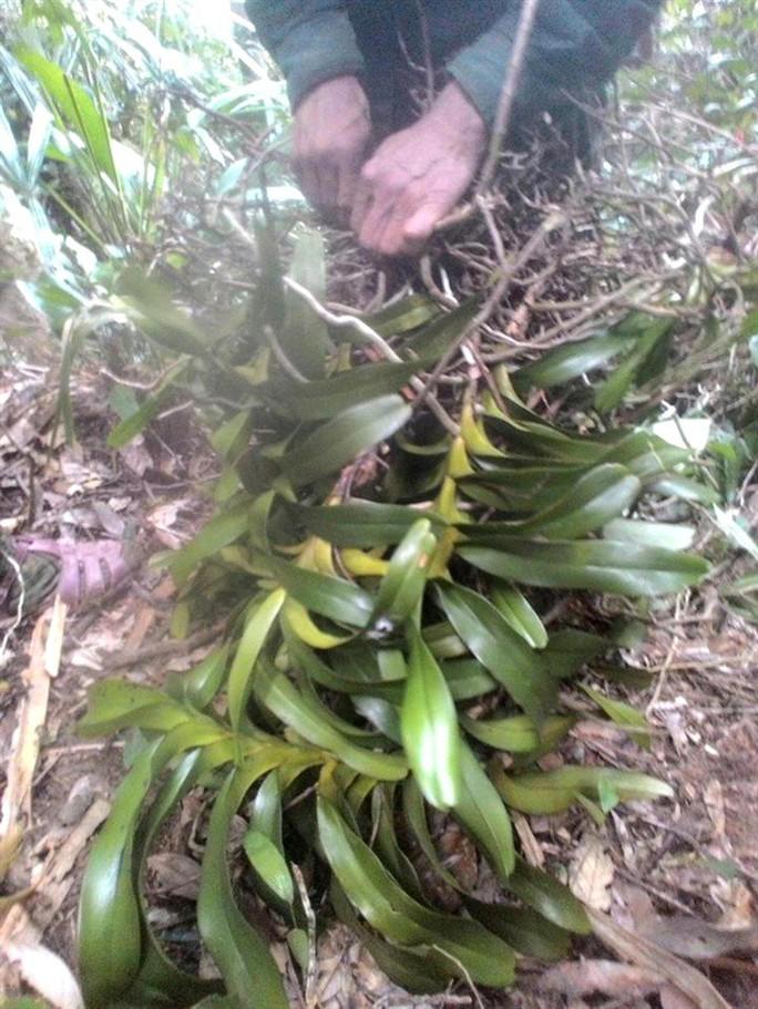 Sởn gai ốc thấy cảnh đạp rừng săn lan hiếm bán Tết - Ảnh 2.