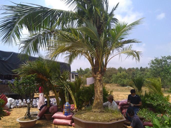 Chiêm ngưỡng cây khế hình chó, dừa 15 ngọn giá nửa tỉ ở Phú Quốc - Ảnh 1.