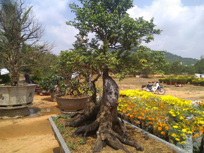 Chiêm ngưỡng cây khế hình chó, dừa 15 ngọn giá nửa tỉ ở Phú Quốc - Ảnh 2.