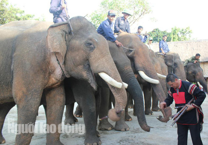 Độc đáo lễ cúng sức khỏe cho voi - Ảnh 6.