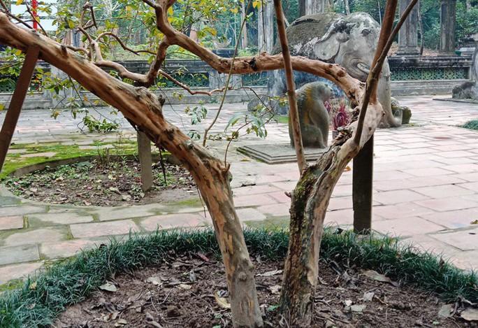 """Kỳ bí cây ổi """"cứ gãi là cười"""" bên lăng mộ vua Lê Thái Tổ - Ảnh 4."""