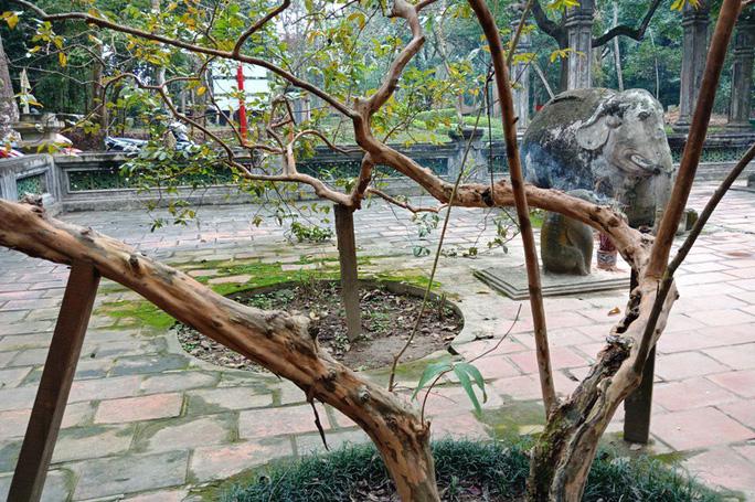 """Kỳ bí cây ổi """"cứ gãi là cười"""" bên lăng mộ vua Lê Thái Tổ - Ảnh 6."""