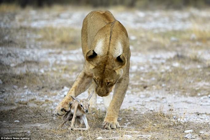 Lạ lùng sư tử cái chăm sóc linh dương con như con đẻ - Ảnh 1.