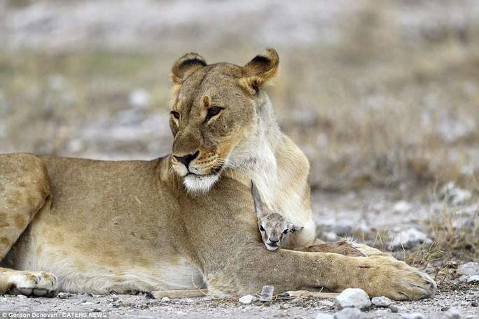 Lạ lùng sư tử cái chăm sóc linh dương con như con đẻ - Ảnh 2.