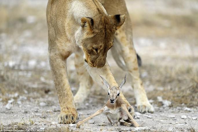 Lạ lùng sư tử cái chăm sóc linh dương con như con đẻ - Ảnh 3.