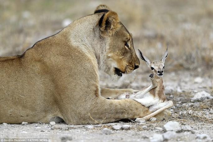 Lạ lùng sư tử cái chăm sóc linh dương con như con đẻ - Ảnh 5.