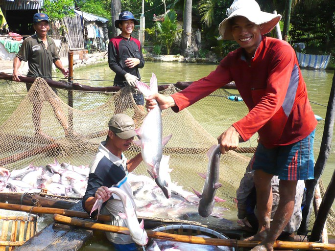 Người nuôi cá tra lãi lớn - Ảnh 1.