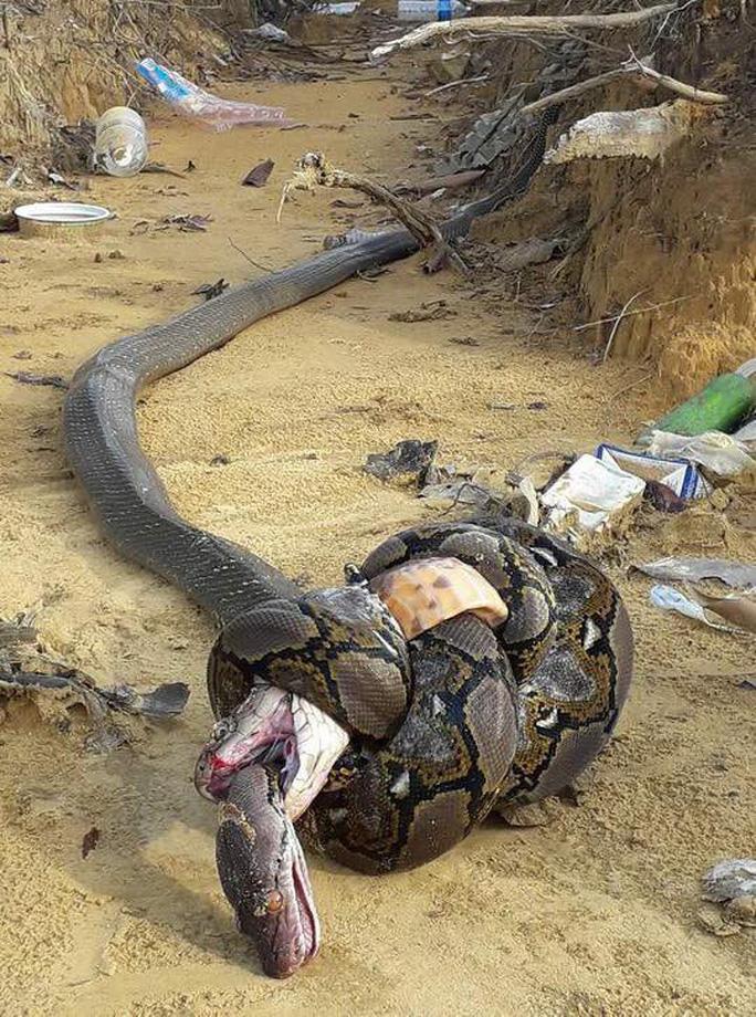 Hổ mang cực độc và trăn khổng lồ tử chiến - Ảnh 1.