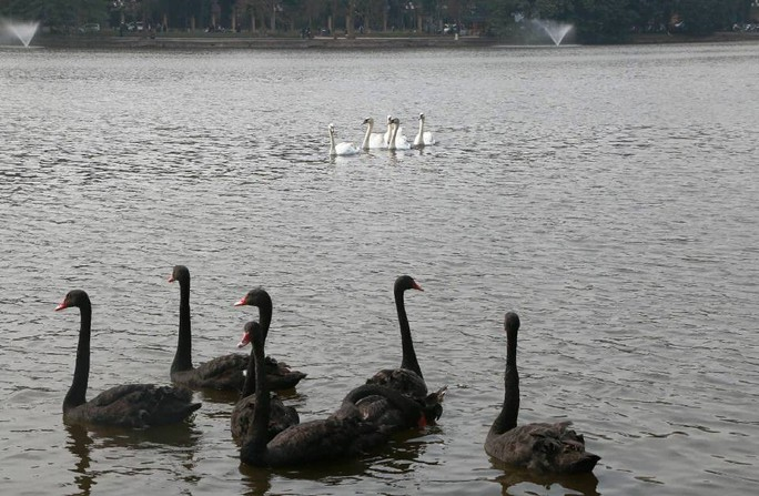 Trầm trồ nhìn đàn thiên nga xuất hiện giữa Hồ Gươm - Ảnh 5.
