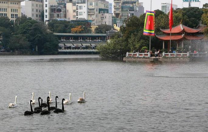 Trầm trồ nhìn đàn thiên nga xuất hiện giữa Hồ Gươm - Ảnh 6.