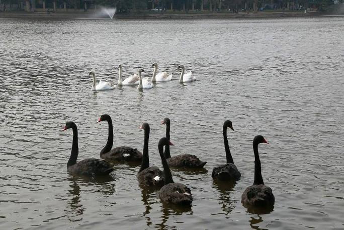 Trầm trồ nhìn đàn thiên nga xuất hiện giữa Hồ Gươm - Ảnh 8.