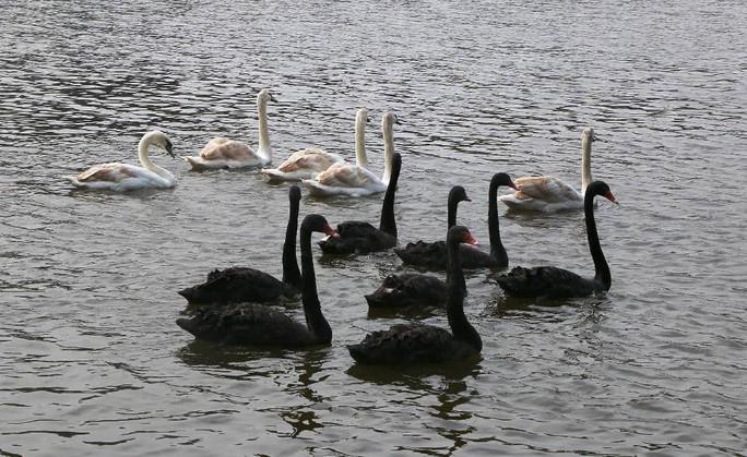 Trầm trồ nhìn đàn thiên nga xuất hiện giữa Hồ Gươm - Ảnh 10.