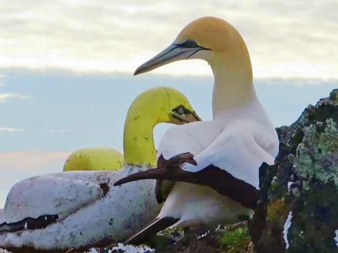 Chàng ó biển cô đơn gục chết bên chim mồi - Ảnh 2.